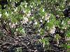 Fast forward to May: manzanita blooming