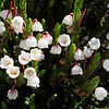 White mountain heather, Cassiope mertensiana