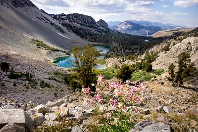 Alpine Columbine