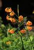 Lilium kelleyanum - Kelley's lily