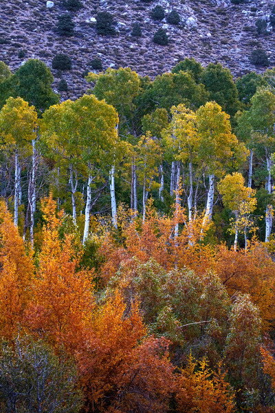Fall foliage and aspens along the South Fork of Bishop Creek.