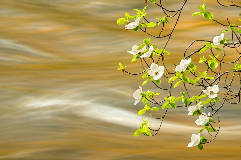 Dogwoods along the Merced River at sunrise in Yosemite National Park.