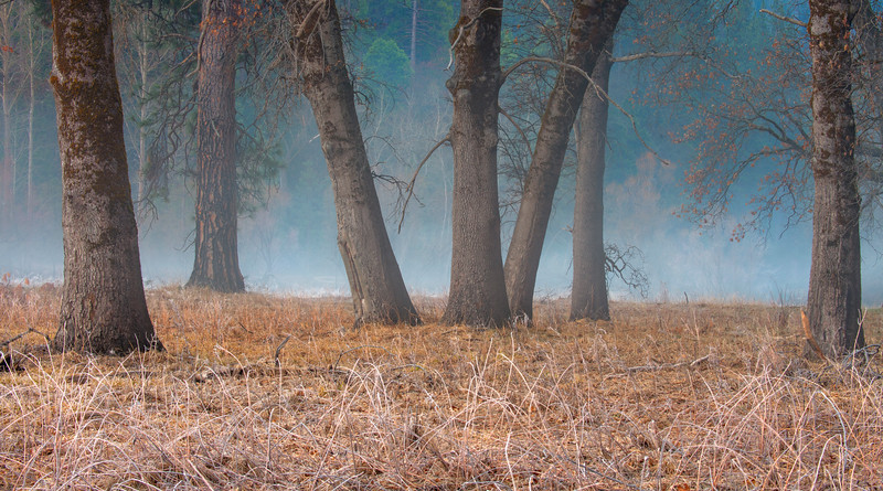 Oak trees along the Yosemite Valley floor