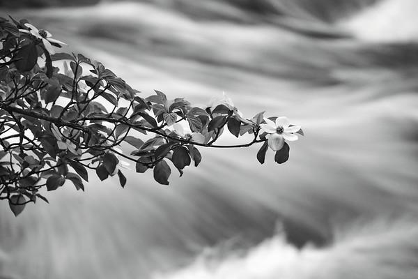 Dogwood flowers blooming along the Merced River outside Yosemite.