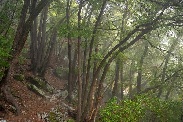 Trees along the Yosemite Falls' trail
