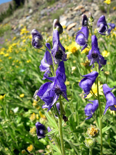 Common Name: Monkshood, Wolfbane (Aconitum Columbianum)<br /> Location: 20 Lakes Basin<br /> Date: July 28, 2007