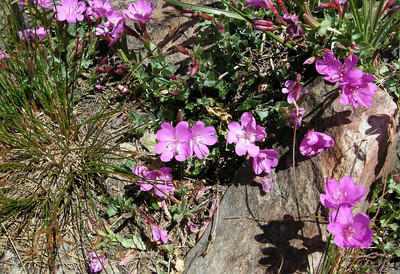 Name: Rock Fringe (Epilobium Obcordatum)  Location: 20 Lakes Basin Date: July 29, 2007