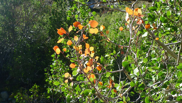 First signs of fall - one orange branch in a patch of aspens.
