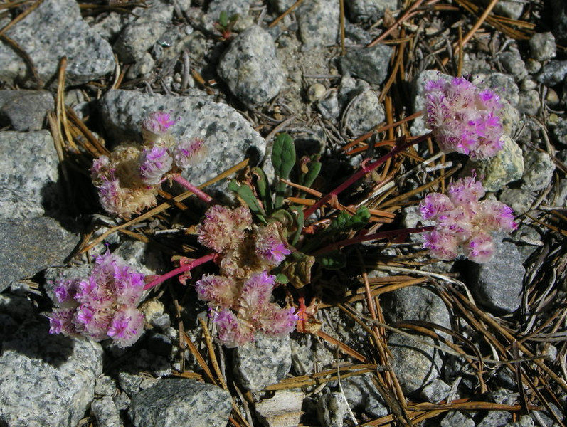 Bright pussypaws<br /> <br /> These are usually not so bright pink - this cluster stood out among the granite