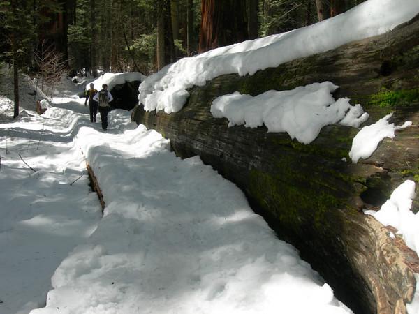 Jason and Bex walk along a fallen sequoia