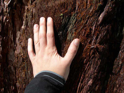 The sequoia bark is soft and almost fuzzy.