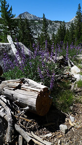 Just pass the crossing we turn off along the JMT's old route. For a while it is an easy to follow trail, though obviously not as worn down as the current JMT. It's no longer maintained but old cut logs provide a good hint when the trail fades away.