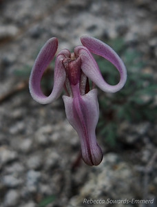 Steer's Head - a hard to find flower (dicentra uniflora)