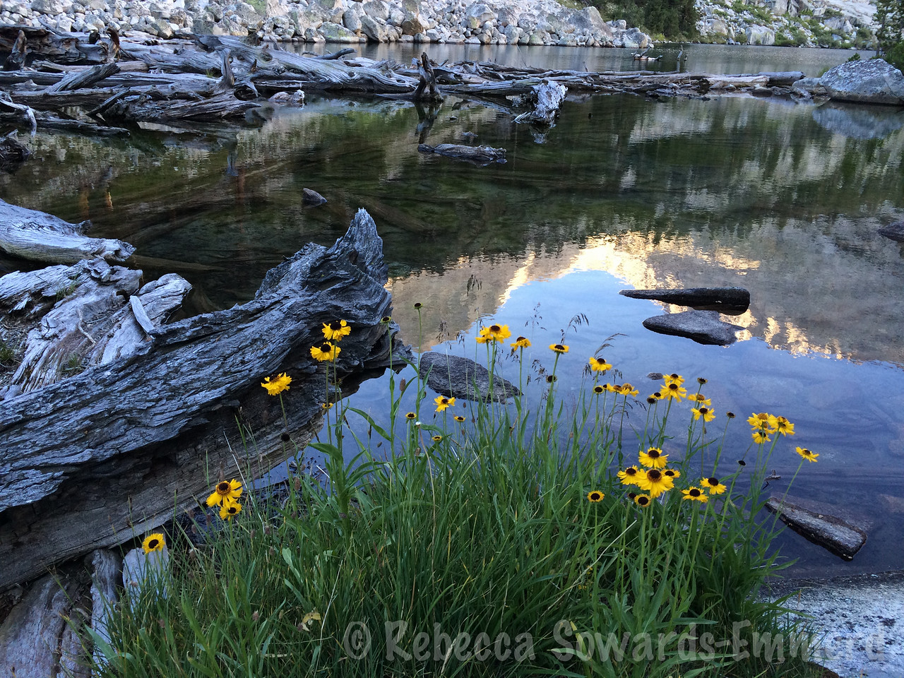 Sneezeweed on the shore of Lake Reflection