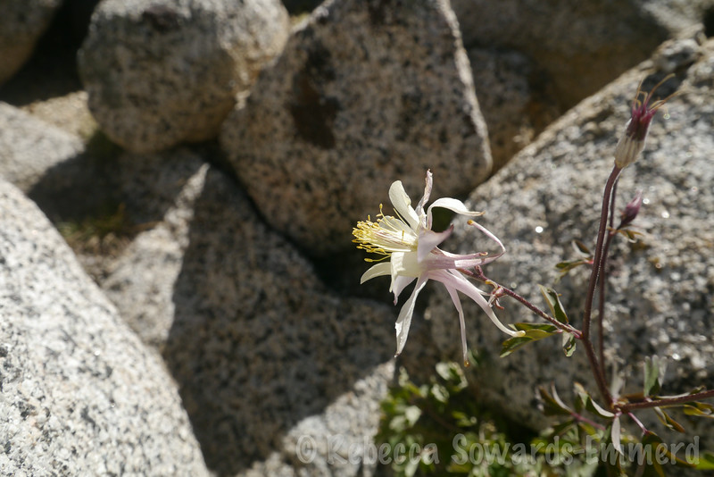 Found one last columbine on the slopes as I descended.