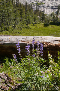 Lupines in the meadow below Sunrise Mountain.