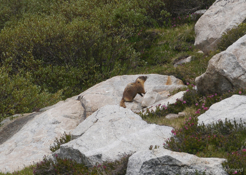 Yup, another marmot.