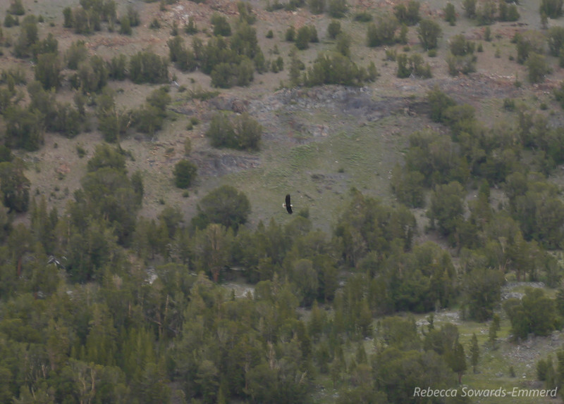 As we walked back along Saddlebag Lake we saw a bald eagle soaring above. He was pretty far and my camera doesn't have a great zoom lens on it so this is the best I snagged. Still awesome!