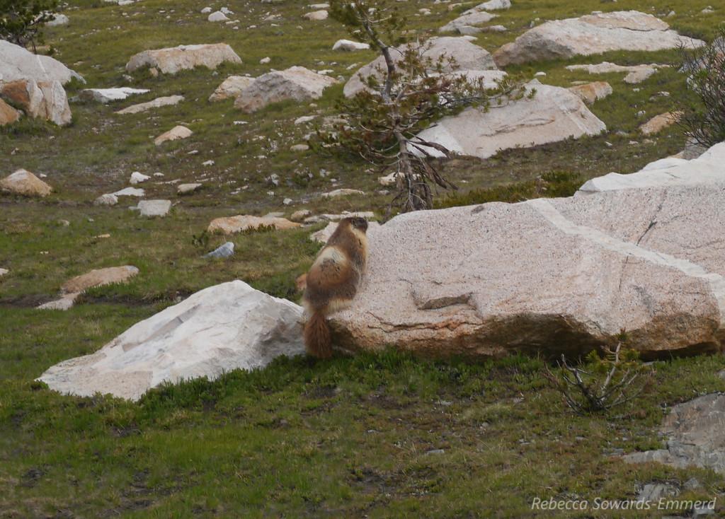 The fattest, fuzziest, waddliest marmot in the sierra.