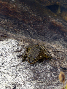 An endangered Mountain Yellow-Legged Frog.
