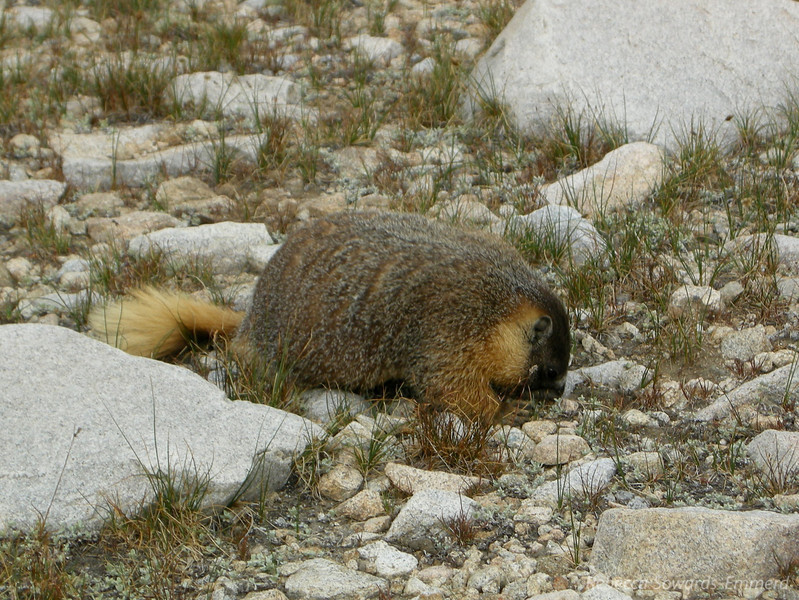 Ran into this marmot right next to the trail. He was literally 5 feet from me and couldn't have cared less that I was there. He was very busy digging and rooting around, fattening himself up for the coming winter.