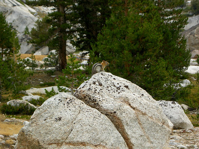 A chipmunk chirping at me as I pass by on my way to Evolution Lake (now on the JMT - it's nice to be on trail!)
