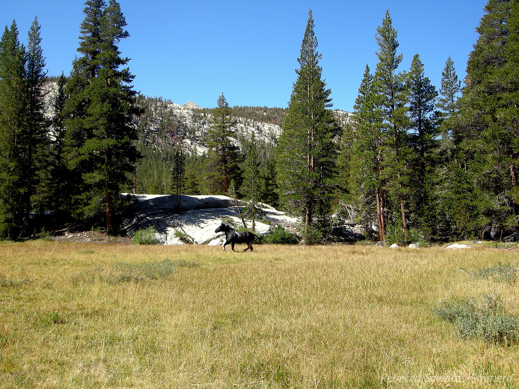 Down around Colby meadow we came across a herd of packer-service horses grazing and running loose. They looked so happy enjoying freedom from riders and gear. The previous day, in Muir Hut, some JMT hikers were telling us about these horses though - they were coming through camp in the middle of the night (with cowbells on), tripping over tents, and crapping all over the place. Remind me not to camp in Evolution Valley. :/