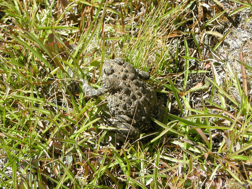 Almost stepped on this toad in Humpreys Basin!