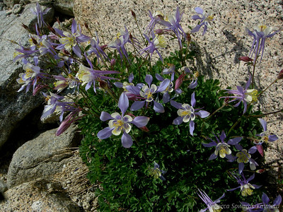 Blue columbine - I've never seen this in the sierra before - it's so pretty!