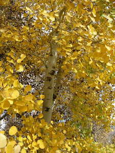 I found one aspen that still had some leaves