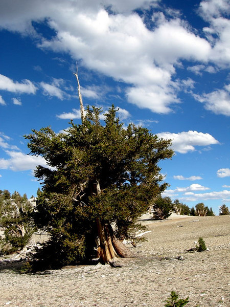 Blue sky and bristlecone