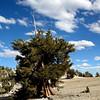 Blue sky and bristlecone