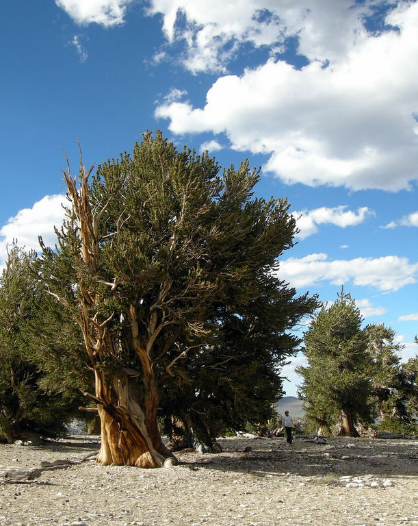 At the Bristlecone Patriarch Grove