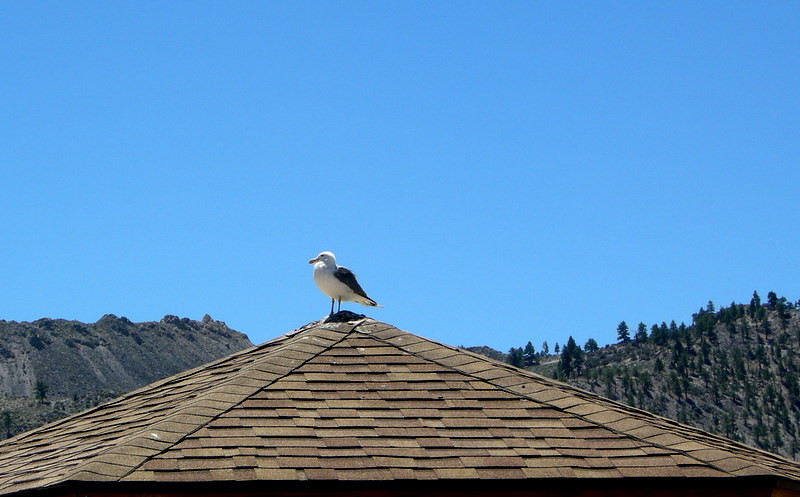 Mono Tufa parking lot seagull