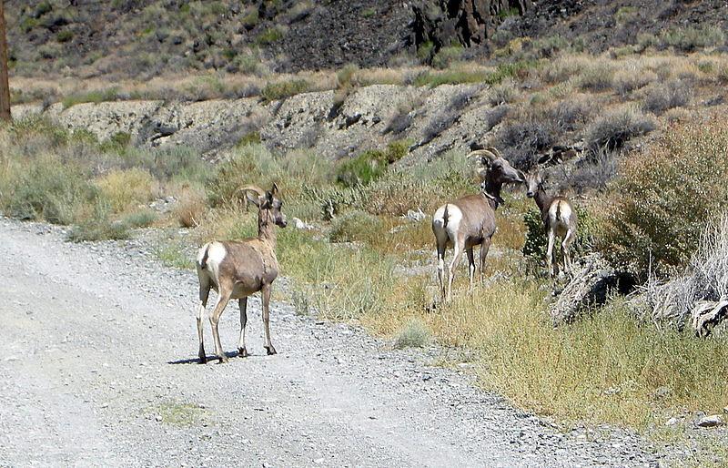 Desert bighorn along SIlver Canyon
