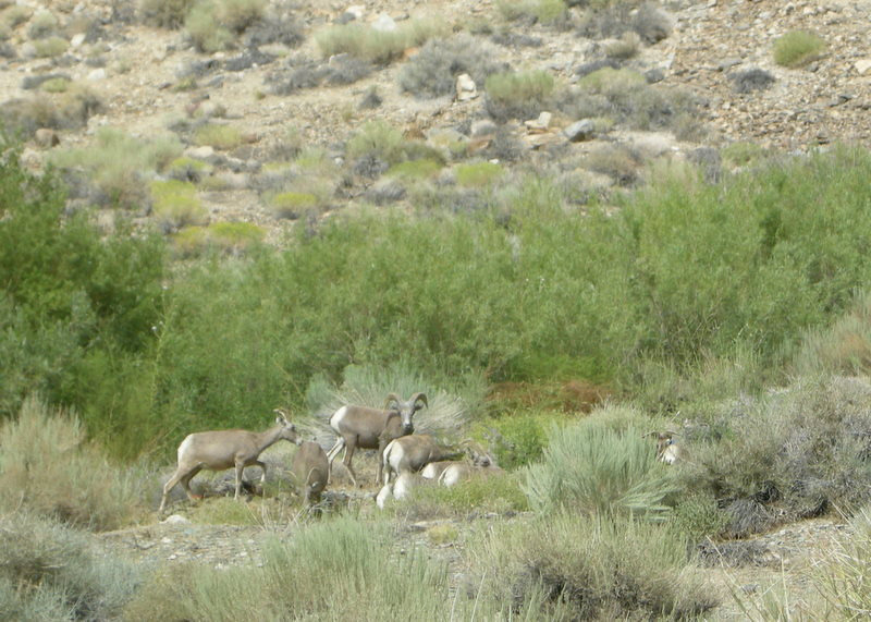 A different bighorn herd a bit up the canyon<br /> <br /> Thanks to Jeff for snapping this one with my camera since I was on the wrong side of the car