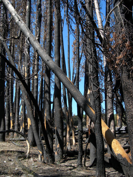 Burned out forest - this looked recent, probably last season.