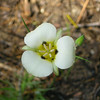 Common Name: Mariposa Lily (Calochortus leichtlinii)<br /> Location: Yosemite, near White Wolf<br /> Date: July 6, 2008