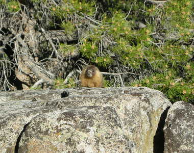 In the morning we had marmot visitors  It was a family with 4-5 fuzzy cute juveniles, like this guy