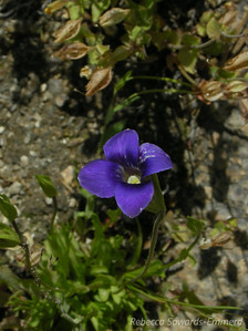 Name: Sierra Gentian (Gentianopsis holopetala) Location: Near Panther Gap, Sequoia National Park Date: August 9, 2009