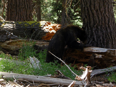 Within the first hour of our seven day hike we came across our first local wildlife, Mr bear.