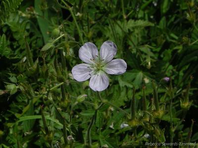 Richardson's Geranium Geranium richardsonii Panther Gap, Sequoia National Park August 9, 2009