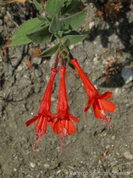 Scarlet Penstemon