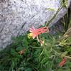 Common Name: Crimson Columbine (Aquilegia formosa)<br /> Location: Kaweah Gap, Sequoia National park<br /> Date: August 12, 2008