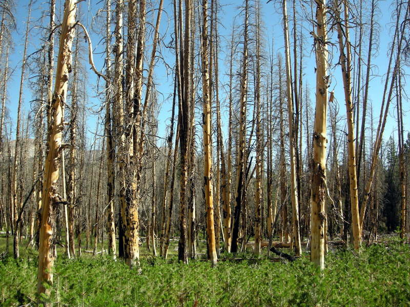 Burned forest and baby trees