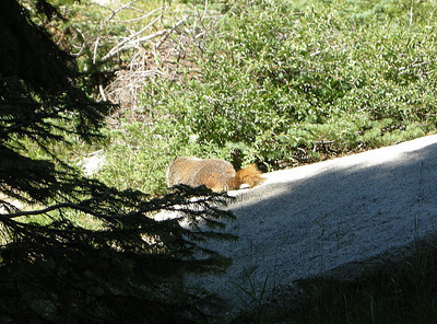 The fattest marmot I've ever seen!