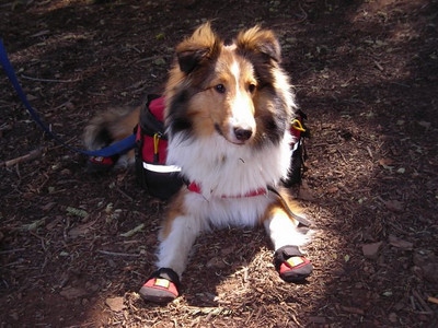 Gavin  Cindy's 8 month old sheltie. He was on his first backpacking trip and he seemed to enjoy posing for photos (just not the booties).