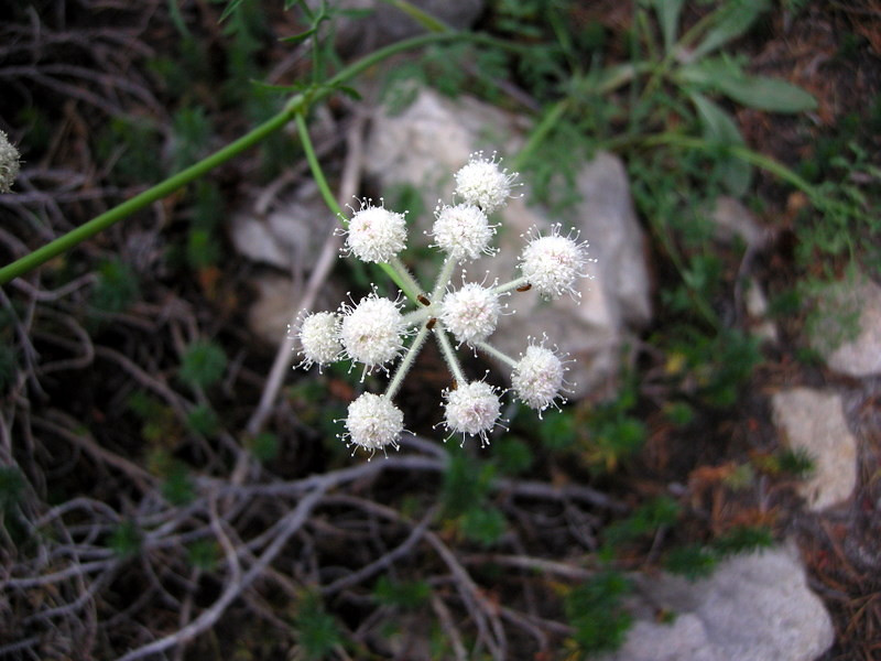 Name: Ranger's Buttons (Sphenosciadium capitellatum)<br /> Location: John Muir Trail<br /> Date: August 9, 2007