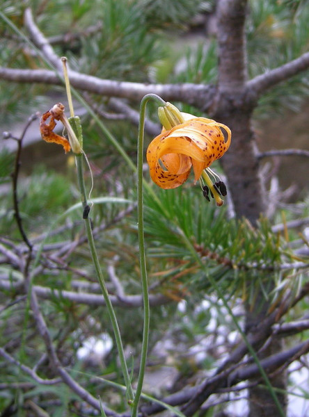 Common Name: California Tiger Lily / Leopard Lily<br /> Location: Cascade Valley<br /> Date: August 9, 2007<br /> Color: Orange<br /> Details: Lilium pardalinum