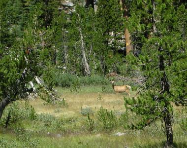 A deer checks me out near Trinity lakes